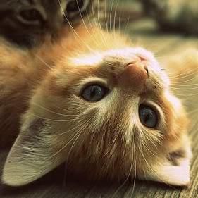 A cute orange cat lying on its back.
