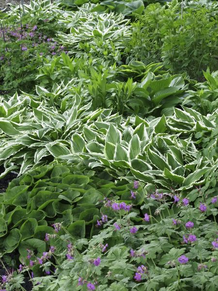 Variety of ground cover in spring garden, with white-edged hosta the showiest