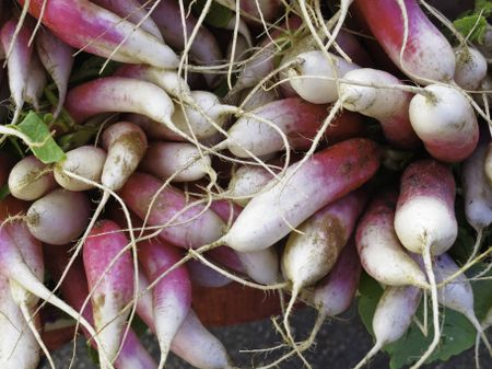 Long radishes (scientific name: Raphanus sativus) at farmers' market in Sarasota, Florida