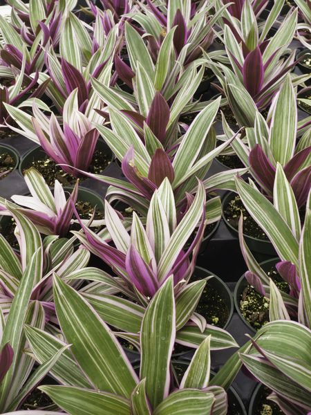 Potted moses-in-the-cradle (botanical name: Rhoeo spathacea tricolor), also known as moses-in-a-basket, boat lily, and oyster plant. Often used for borders in gardens.