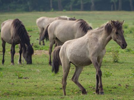 wilh horses in germany