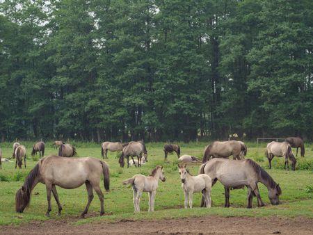 Wild horses in the german muensterland