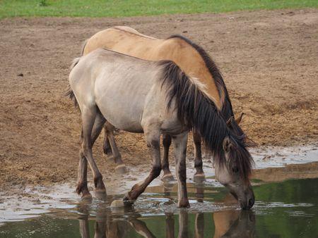 Wild horses in germany