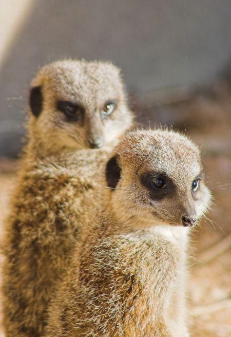 cute meercat couple