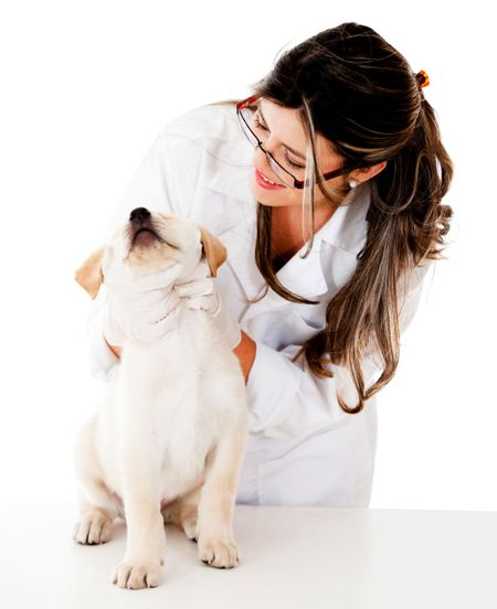 Vet checking a puppy - isolated over a white background
