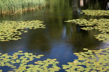 Water Lily Background, Castle Moat; Copenhagen; Denmark