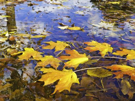 Autumn at a glance: Brilliantly colored maple leaves in puddle