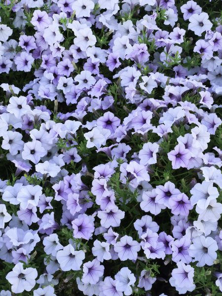 Profusion of garden phlox in summer