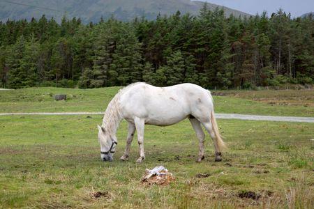 Wild Horse, Connemara National Park; Ireland