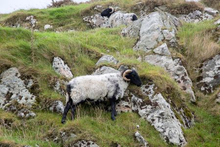 Wild Sheep; Connemara; Galway; Ireland