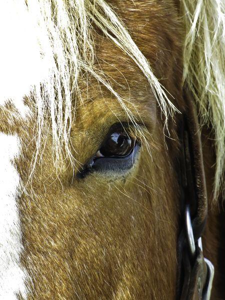 Closeup of Belgian draft horse on farm