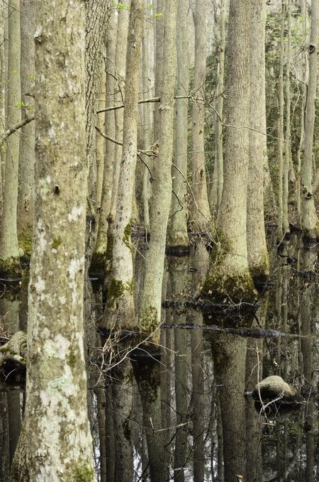 Repetition in maritime forest ecology: Cypress swamp in First Landing State Park, Virginia Beach, Virginia