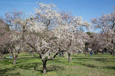 Blossom on Tree in Park; Madrid; Spain
