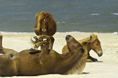 Three wild horses, one on its back, together on beach of Assateague Island, Maryland