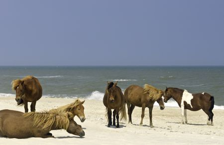 Small herd of wild horses on beach of Assateague Island, Maryland