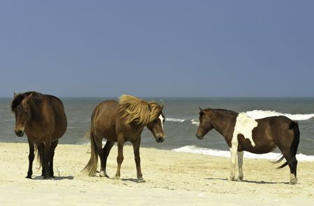 Three wild horses standing on beach of Assateague Island, Maryland