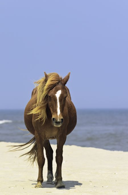 Wild horse standing alone on breezy beach of Assateague Island, Maryland
