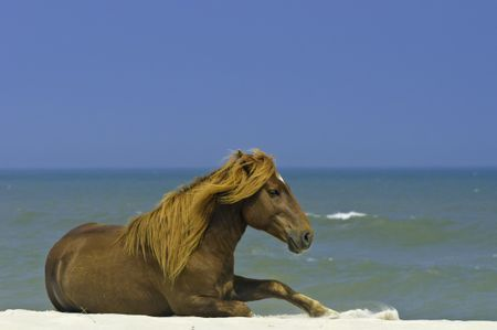 Wild horse basking in sunlight and starting to get up on beach of Assateague Island, Maryland