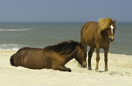 Two wild horses, one standing one sitting, together on beach of Assateague Island, Maryland