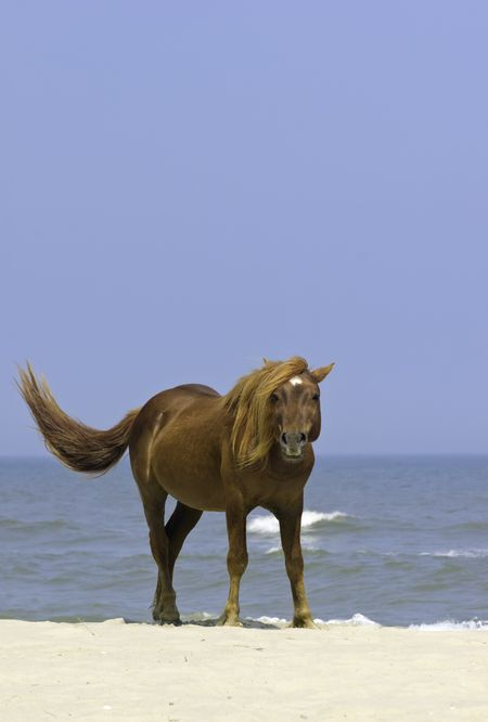 Wild horse looking at you as it stands swishing its tail on sandy beach of Assateague Island, Maryland