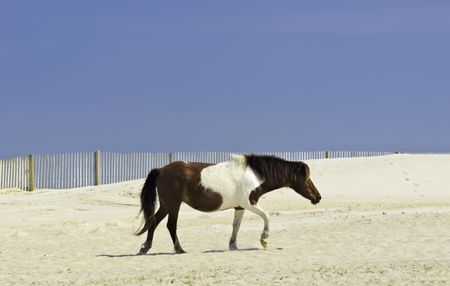 Wild pinto horse crossing dune on Assateague Island, Maryland