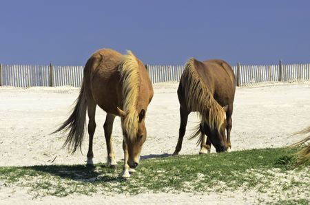 Two wild horses grazing together on Assateague Island, Maryland
