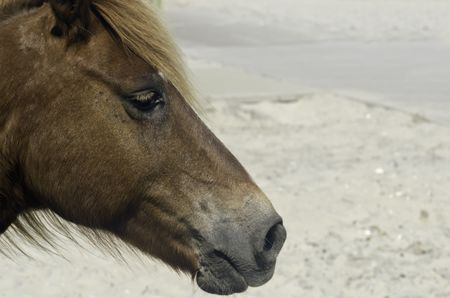 Portrait of wild horse by sand and sidewalk at Assateague Island National Seashore in eastern Maryland (shallow depth of field)