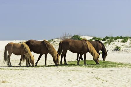Four wild horses grazing by sand dune at Assateague Island National Seashore in eastern Maryland