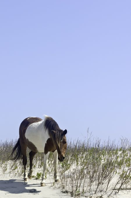 Wild pinto horse standing alone on breezy dune on Assateague Island National Seashore in eastern Maryland