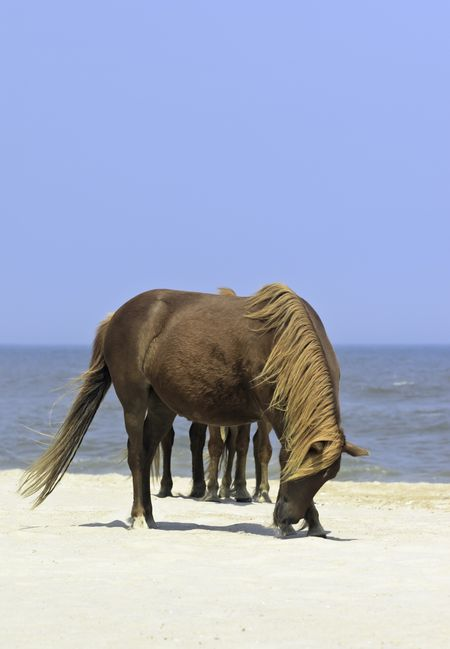 Wild horse appears to have many legs standing on beach of Assateague Island National Seashore in eastern Maryland