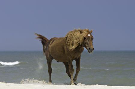Wild stallion kicking sand on breezy beach of Assateague Island, Maryland