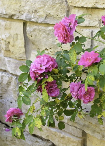"Hybrid pink roses (botanical name: Rosa x kordesii ""John Cabot""), named after Canadian explorer John Cabot, on shrub by stone wall in garden (focus on brightest bloom)"