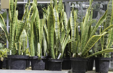 Potted snake plants (botanical name: Sansevieria trifasciata), also known as mother-in-law's tongue (poisonous if ingested), an ornamental native to tropical western Africa, on table in greenhouse