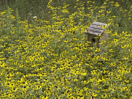 Birdhouse among black-eyed Susans (botanical name: Rudbeckia hirta) in nature preserve , August in northern Illinois