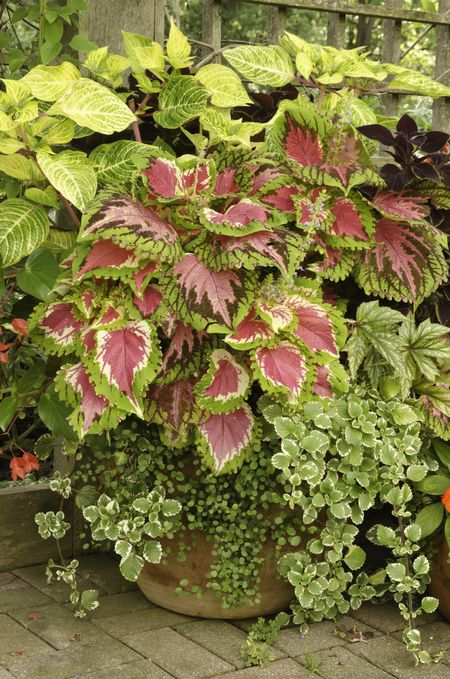 Harmony in ornamental garden: Arrangement of coleus and other potted plants late in summer, northern Illinois