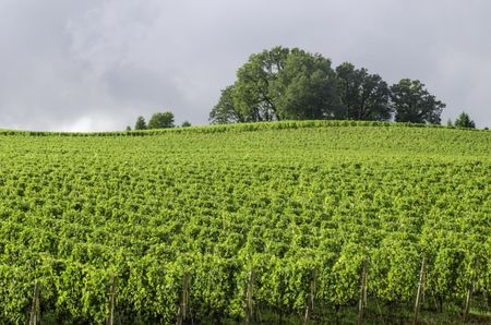 Vineyard bright green under gray rain clouds: Break in afternoon rain illuminates Willamette Valley wine country in northern Oregon, USA