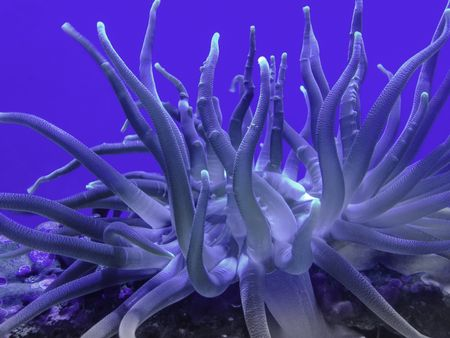 Closeup of sea anemone on coral in aquarium