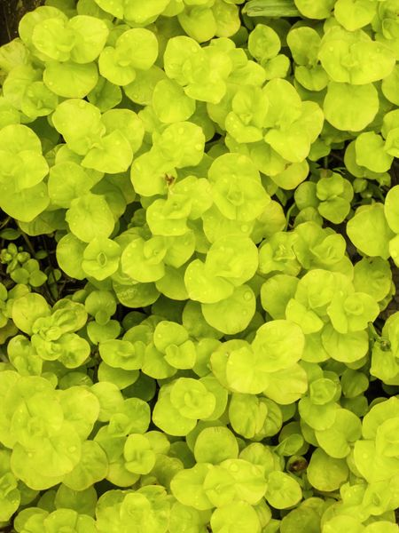 "Golden moneywort (binomial name: Lysimachia nummularia ""Aurea""), also known as creeping Jenny, a perennial accent plant in spring garden, with rain drops"