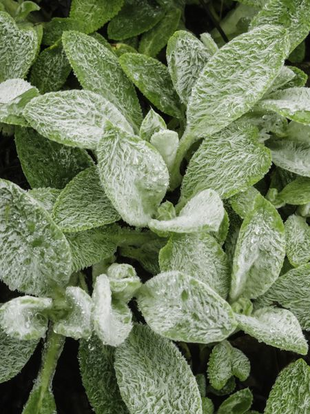 Woolly leaves of lamb's tongue (binomial name: Stachys byzantina 'Cotton Ball'), also called lamb's ear , an ornamental plant native to Armenia, Turkey, and Iran, with rain drops