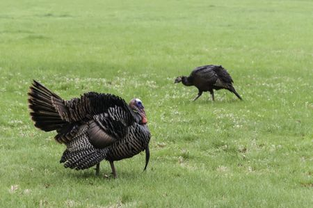 Adult male (foreground) and female (background) wild turkeys (binomial name: Meleagris gallopavo) crossing a grassy area in opposite directions, Warrenville, Illinois, in spring (foreground focus)