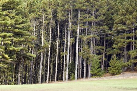 Power lines by pines at edge of field