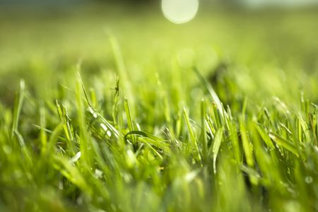 Selective focus on fresh grass shoots in a garden in Summer