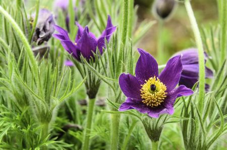 Pasque flower (binomial name: Pulsatilla vulgaris) in garden, spring in northern Illinois