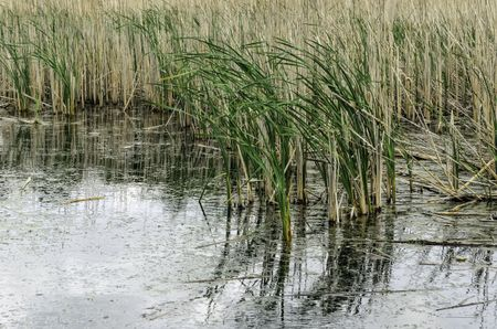 Freshwater marsh reeds bending in a breeze, for wetland and other environmental themes such as flood control, wildlife habitat and biologic diversity