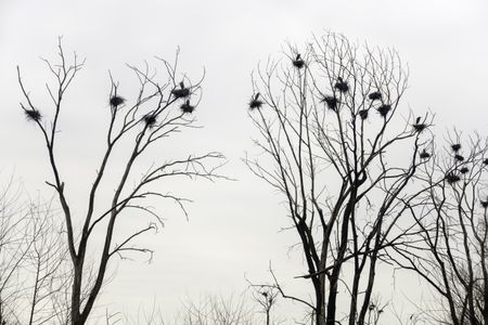 Example of synchronized behavior in breeding birds: Rookery of great blue herons (binomial name: Ardea herodias) and their nests in bare trees on overcast day early in spring, northern Illinois, USA