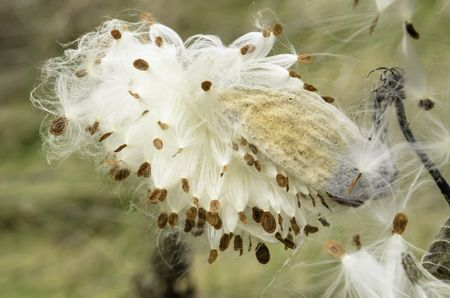 Seedpod and seeds of milkweed (genus: Asclepias; unidentified species) early in autumn, field in northern Illinois. Milkweed seeds are dispersed by wind.