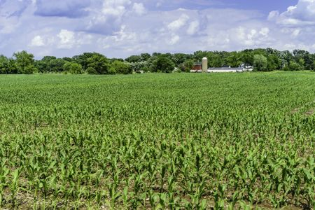Field of corn early in June, with community dairy farm and windbreak of deciduous trees in the distance, northern Illinois