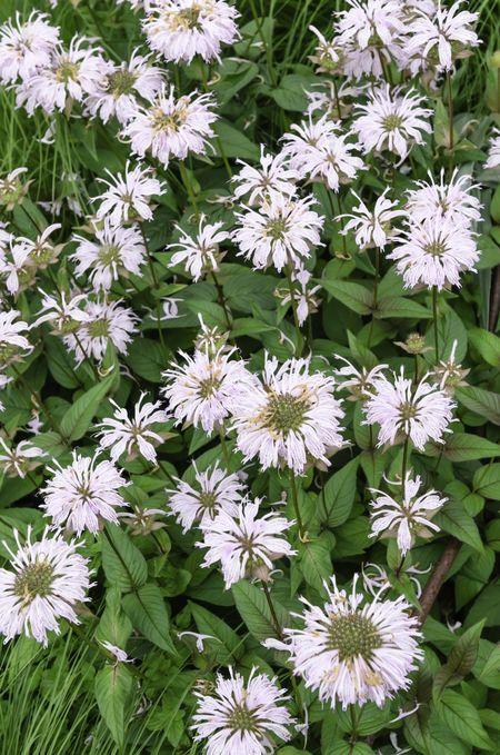 Wild bergamot: Clump of wild bergamot (binomial name: Monarda fistulosa), also known as bee balm, in a spring garden in southern Wisconsin