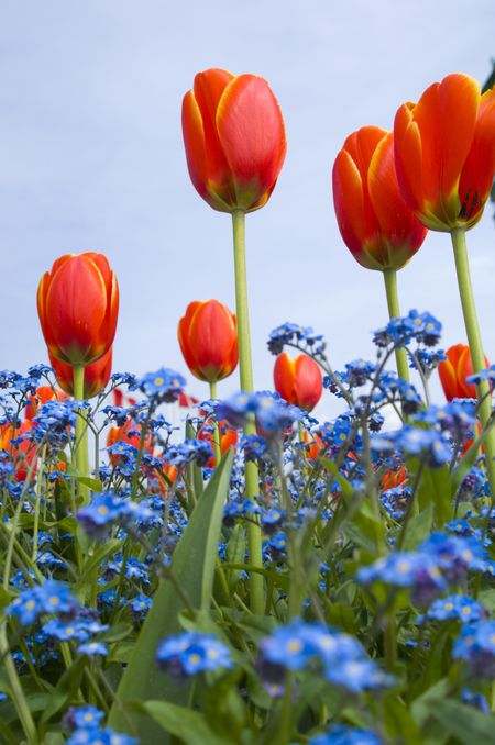 Tulips growing in the spring.