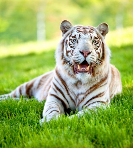 Beautiful picture of a white tigger lying over grass